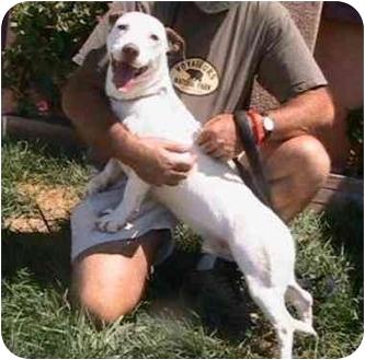 Basset Hound Mix Puppy for adoption in Berkeley, California - Shorty