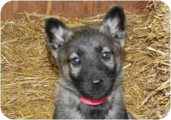 German Shepherd Dog Mix Puppy for adoption in Salem, New Hampshire - Orange