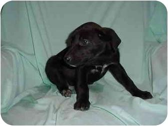 Labrador Retriever/Shepherd (Unknown Type) Mix Puppy for adoption in Mason City, Iowa - Zar