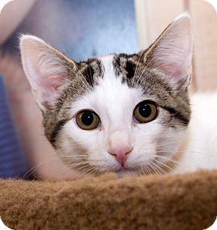 Domestic Shorthair Kitten for adoption in Irvine, California - Molly