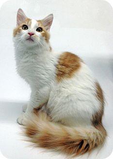 Domestic Longhair Kitten for adoption in Cincinnati, Ohio - Sherbie