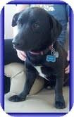 Beagle/Dachshund Mix Puppy for adoption in Staunton, Virginia - Jesse