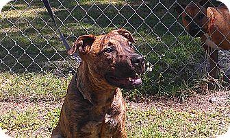 Mastiff/Pit Bull Terrier Mix Puppy for adoption in Odessa, Florida - JADA