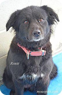 Labrador Retriever/Collie Mix Dog for adoption in Danielsville, Georgia - Roxie