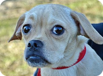 Pug/Terrier (Unknown Type, Medium) Mix Dog for adoption in Searcy, Arkansas - Beth