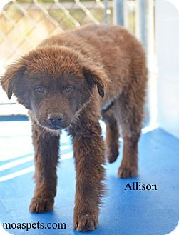 Labrador Retriever/Golden Retriever Mix Puppy for adoption in Danielsville, Georgia - Allison
