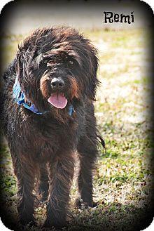 Schnauzer (Standard)/Poodle (Standard) Mix Dog for adoption in Brattleboro, Vermont - Remi