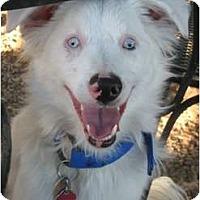 Adopt A Pet :: Ayla - Mesa, AZ
