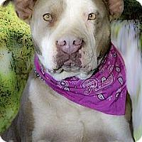 Adopt A Pet :: Zoey couch potato - Sacramento, CA