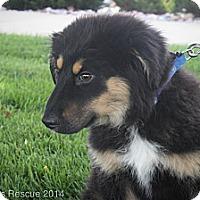 Adopt A Pet :: Patriot - Broomfield, CO