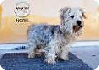 Yorkie, Yorkshire Terrier Mix Dog for adoption in Shawnee Mission, Kansas - Aoki