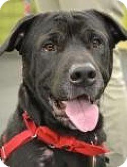Labrador Retriever/Shar Pei Mix Dog for adoption in Toledo, Ohio - Houdini
