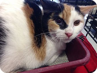 Calico Cat for adoption in Toledo, Ohio - Ginger