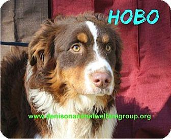 Australian Shepherd Dog for adoption in Denison, Texas - Hobo