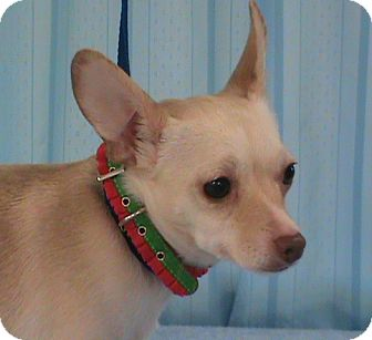 Chihuahua Dog for adoption in Maynardville, Tennessee - Delilah