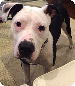 American Bulldog/Boxer Mix Dog for adoption in Nashville, Tennessee - Sophie