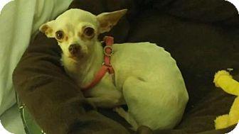 Chihuahua Dog for adoption in Denver, Colorado - Posh Spice