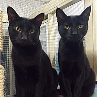 Domestic Shorthair Cat for adoption in Wilmington, Delaware - Colleen