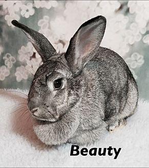 Chinchilla, American Mix for adoption in Auburn, California - Beauty