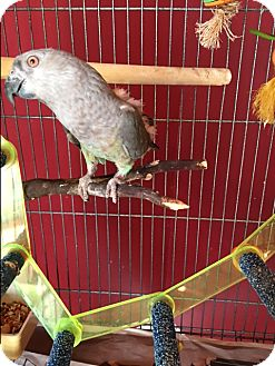 Poicephalus (including Senegal and Meyer's) for adoption in Sylmar, California - Tika