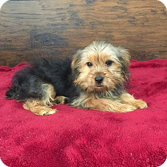 Yorkie, Yorkshire Terrier Puppy for adoption in Los Angeles, California - Lexi