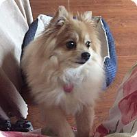 Adopt A Pet :: Sweetie Pie - Topeka, KS