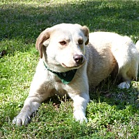 Labrador Retriever Mix Dog for adoption in Mocksville, North Carolina - Cleo