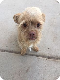 Brussels Griffon/Cairn Terrier Mix Dog for adoption in Las Vegas, Nevada - Scuffy