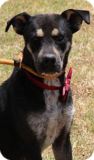 Rottweiler/Labrador Retriever Mix Dog for adoption in Lacey, Washington - Cross