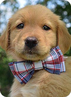 Golden Retriever/Australian Shepherd Mix Puppy for adoption in Denver, Colorado - Rutherford