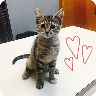 Domestic Shorthair Kitten for adoption in Houston, Texas - Katy