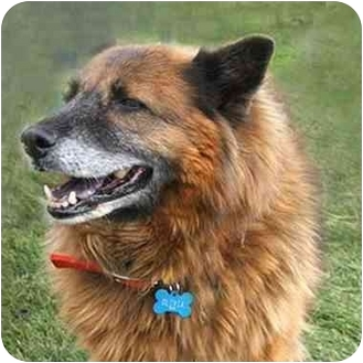 Shepherd (Unknown Type)/Chow Chow Mix Dog for adoption in Denver, Colorado - Buffy