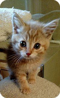 Maine Coon Kitten for adoption in Ypsilanti, Michigan - Maui