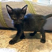 Adopt A Pet :: Toeny - Flint HIll, VA
