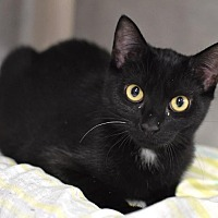Domestic Shorthair Cat for adoption in Lawrenceville, New Jersey - Chrissy (FKA Boots)