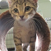 Domestic Shorthair Kitten for adoption in Reeds Spring, Missouri - Little Foot