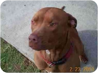 Retriever (Unknown Type)/American Pit Bull Terrier Mix Dog for adoption in Vista, California - Lucy