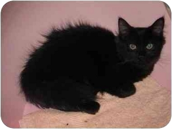 Maine Coon Cat for adoption in Randolph, New Jersey - Sharon