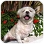 Photo 2 - Lhasa Apso Dog for adoption in Los Angeles, California - GINGER