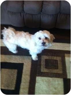Bichon Frise/Poodle (Standard) Mix Dog for adoption in Oceanside, California - Lillie
