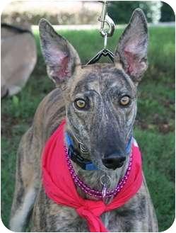 "Greyhound Dog for adoption in Smyrna, Tennessee - AHK Ferrari ""Ferrari"""