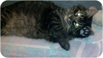 Domestic Mediumhair Cat for adoption in Medford, New Jersey - Meowee