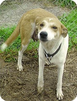 Collie/Labrador Retriever Mix Dog for adoption in Moulton, Alabama - Sadie