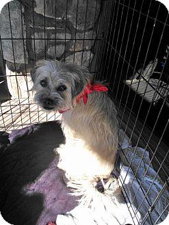 Pug/Poodle (Miniature) Mix Dog for adoption in Scottsdale, Arizona - Cole
