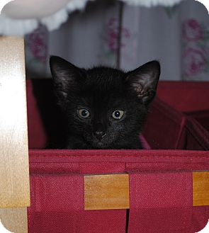 Domestic Shorthair Kitten for adoption in Worcester, Massachusetts - Sapphire