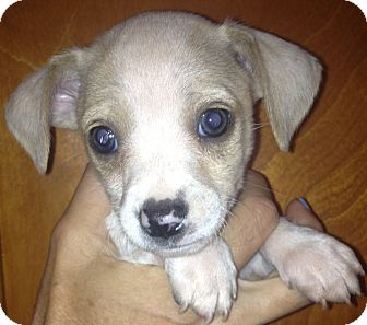 Beagle/Chihuahua Mix Puppy for adoption in Thousand Oaks, California - Harpo