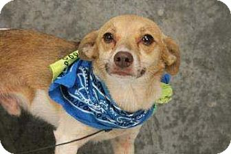 Chihuahua/Jack Russell Terrier Mix Dog for adoption in Charleston, South Carolina - Collin
