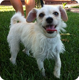 Terrier (Unknown Type, Small)/Poodle (Toy or Tea Cup) Mix Dog for adoption in Irvine, California - LENA, 5 Lbs watch video!