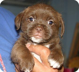 Shih Tzu/Pug Mix Puppy for adoption in Santa Ana, California - Marlon J