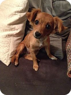 Chihuahua/Dachshund Mix Puppy for adoption in Las Vegas, Nevada - Sadie (formerly Erica)
